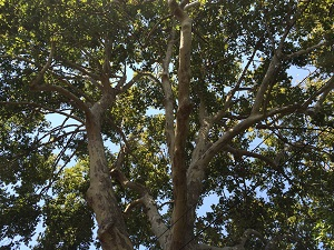 picture of tree canopy