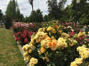 Picture of roses at the State Capitol Park World Peace Rose Garden