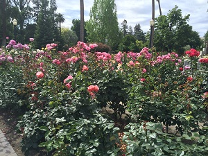 Picture of roses in the State Capitol Park World Peace Rose Garden