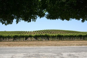Picture of Napa Valley Vineyard