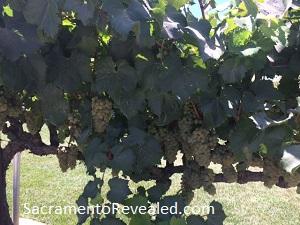 Photo of Scribner Bend Vineyard vines