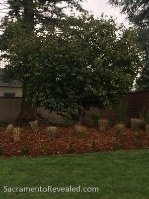 Photo of Sacramento's Oldest Camellia