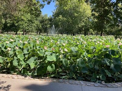 Photo of Land Park Lotus Pond