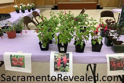 Photo of Sacramento Fuchsia Garden Club Plants for Sale